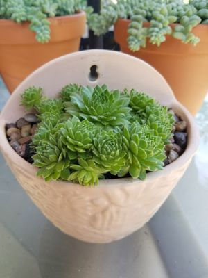 Succulents Hen and chicks in a pot for Sale in Portland, OR