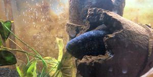 Large Jack Demsy Cichlid for Sale in Pasco, WA