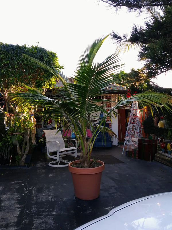 About 8ft Tall Coconut Palm Tree In Red Pot For Sale In