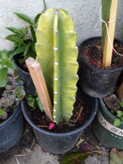 Catcus Plants for Sale in Los Angeles,  CA