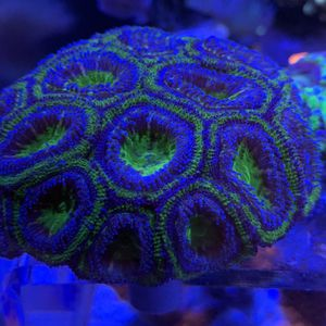 Green And Purple Acan for Sale in Loma Linda, CA