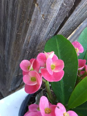 Pink crown of thorns for Sale in Holiday, FL