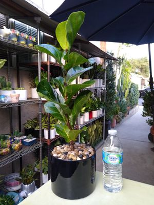 DWARF FIDDLE LEAF TREE INDOOR PLANT for Sale in Paramount, CA