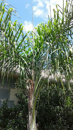 New construction palm trees for sale for Sale in Palm Harbor, FL