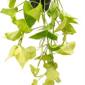 Pothos Epipremnum Aureum Neon Cuttings for Sale in McHenry, IL