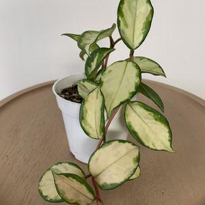 Hoya Krimson Princess 4-inch Pot for Sale in Los Angeles, CA
