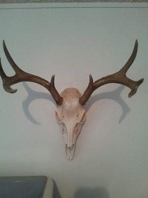 4 point European mount coues deer. for Sale in Show Low, AZ