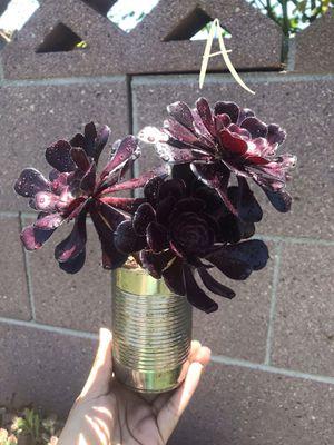 Black rose aeonium for Sale in Buena Park, CA