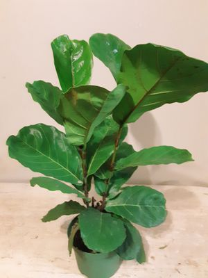 Fiddle leaf fig plants 6 inches pot 1ft 9 inches tall for Sale in Chula Vista, CA