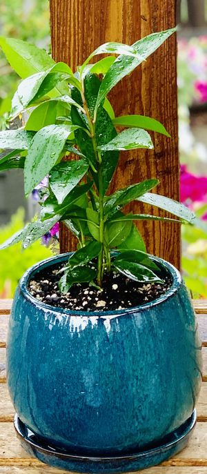 Live indoor Ardisia Humilis house plant in a ceramic planter flower pot with base attached—firm price for Sale in Seattle, WA