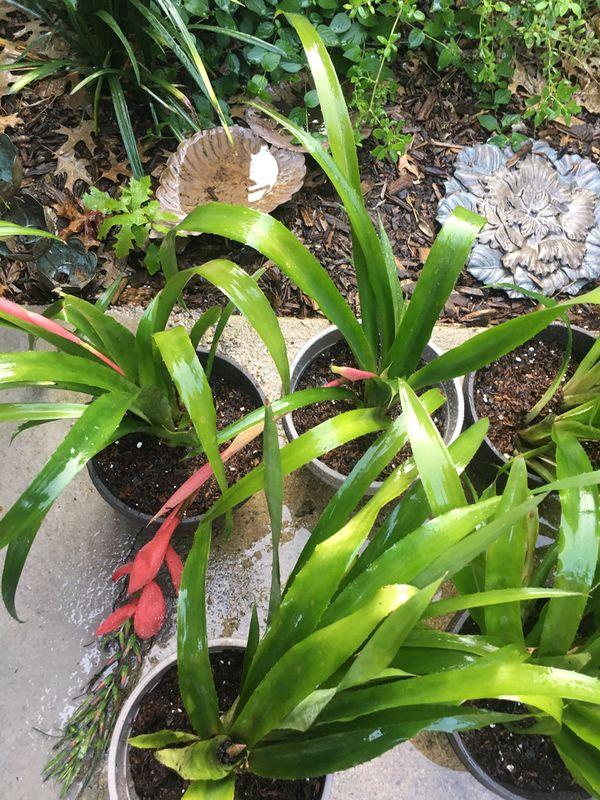 Plant pot Queens Tears Bromeliad ( Friendship Plant) garden patio flower tropical beach pool