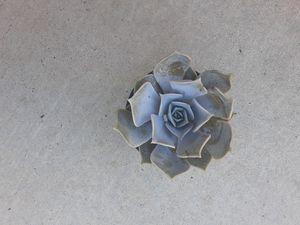 Echeveria Lilacina succulent for Sale in Tulare, CA