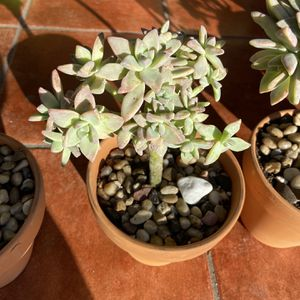 Ghost Plant Graptopetalum Paraguayense Crested in 10 inch terra-cotta pot for Sale in South Gate, CA