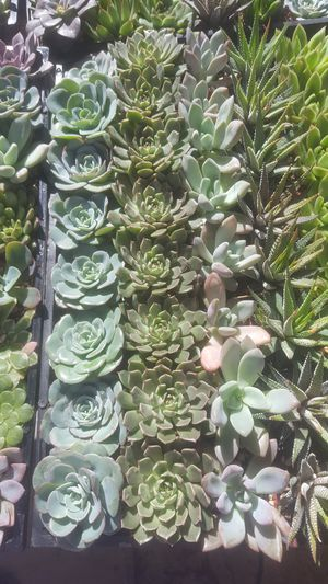 "Baby succulents plants 2"" $1.25 each for Sale in Corona, CA"