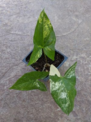 Rare Variegated Syngonium Plant for Sale in Riverside, CA