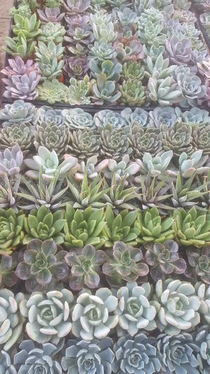"""Beautiful baby succulent plants for sale 2"""" for Sale in Corona, CA"""