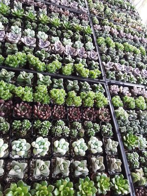 """New variety in 2"""" pots with rare succulent plant $1.50 each and $65 for tray of 64 plants for Sale in La Mirada, CA"""