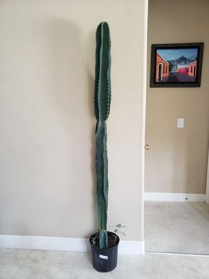 """Peruvian Cactus 70"""" tall (other sizes available) for Sale in Orlando, FL"""