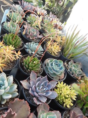 1 gallon pots with succulent plants $5 each for Sale in Whittier, CA