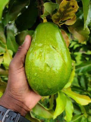 Fresh Florida Avocado - Aguacate Fresca for Sale in Miami, FL