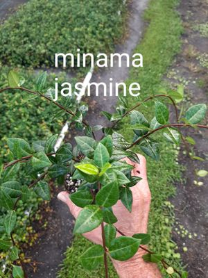 Minama Jasmine (groundcover)x18 for Sale in Dover, FL