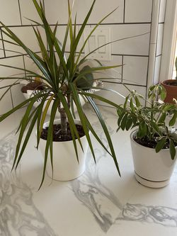 Two Plants With 4inch Pots for Sale in Lake Forest,  CA