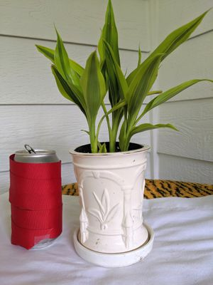 Variegated Dracaena Lucky Bamboo Plants in Ceramic Planter with Saucer-Real Indoor House Plant for Sale in Auburn, WA