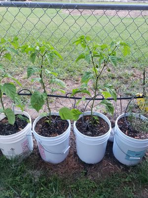 Ghost pepper plants for Sale in Plant City, FL