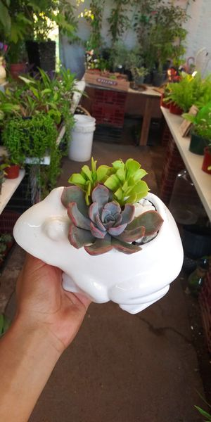Succuñent plants in frog pot $10 for Sale in San Marcos, CA