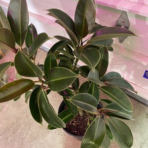 Rubber Plants for Sale in Vancouver, WA