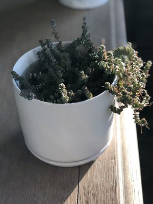 Very cute and healthy succulents in white ceramic pot for Sale in Aldie, VA