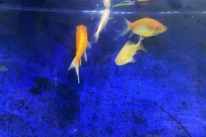 goldfish for Sale in Brush Prairie, WA