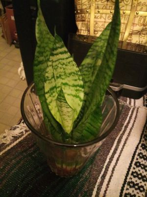 Snake plants for Sale in San Antonio, TX