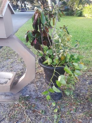 Large potted plant for Sale in Coconut Creek, FL