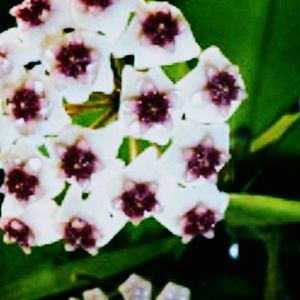 Hoya ObovataFlecked With Silver & Pink for Sale in Fountain Valley, CA