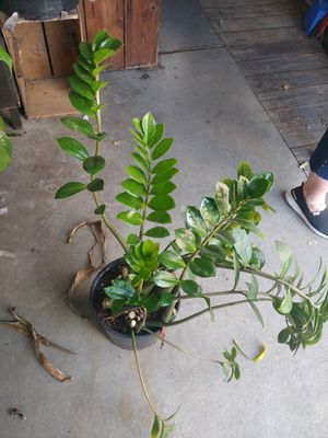 Houseplant for Sale in Hayward, CA