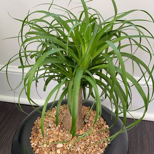 A real Pony Tail Palm Plant for Sale in Chesapeake, VA