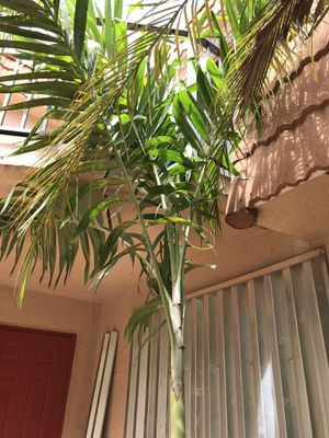 12 ft. Tropical Palm Tree for Sale in Davie, FL