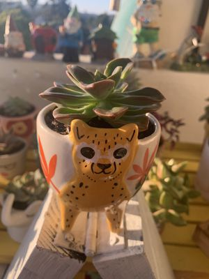 Succulent plant for Sale in San Diego, CA