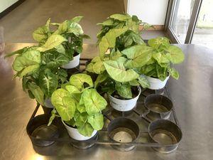 Arrowhead plants for Sale in Bakersfield, CA