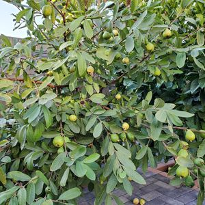 Guava tree for Sale in Santa Ana, CA