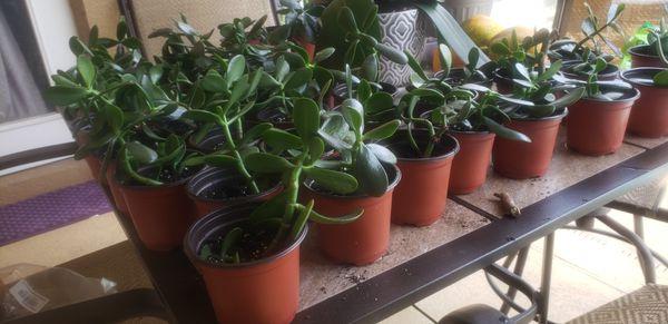 Jade plant sale (succulents)