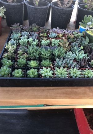"Suculentas 2"" $1 each for Sale in Bell Gardens, CA"