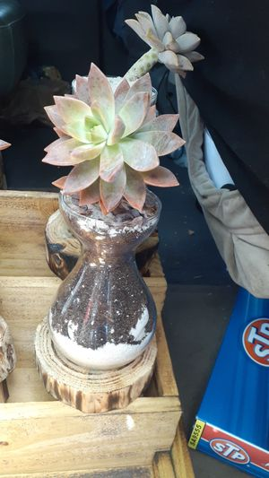 Succulent plant for Sale in Pembroke Pines, FL