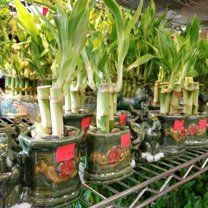lucky bamboo for Sale in Portland, OR