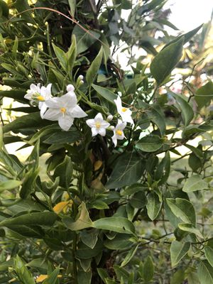 Star Jasmine $28 each for Sale in Santa Ana, CA