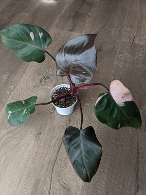 Philodendron Pink Princess Rare Plant for Sale in San Diego, CA
