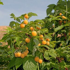 'Fall Gold' Yellow Raspberry (Rooted) for Sale in Indio, CA