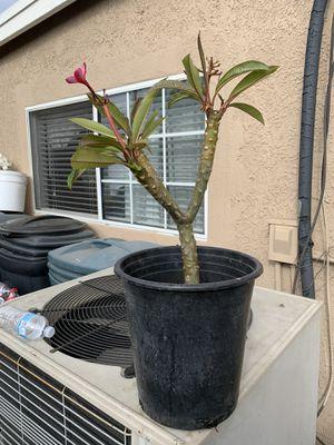 Plumeria color rosa for Sale in Stanton, CA