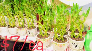 Braided lucky bamboo Real Live Indoor Houseplant Plant $7/each for Sale in Garden Grove, CA
